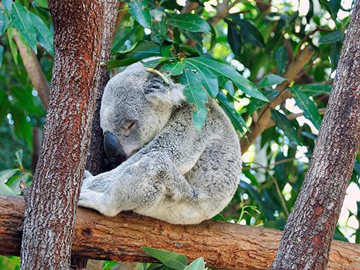 世界遺産の森と海、可愛い動物たちに癒される ケアンズ・ゴールドコースト 6日間
