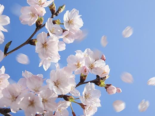 桜のたび特集